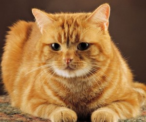cute-red-cat