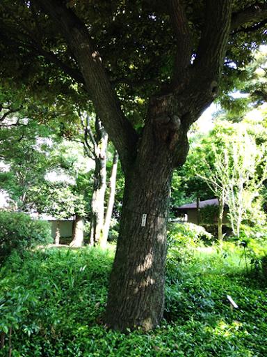 Japan's Tree of Knowledge in Former Yasuda Garden