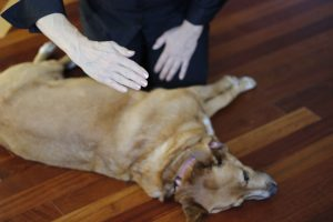 a dog being healed with Kelly Hampton's Star Healing intergalctic energy for small animals